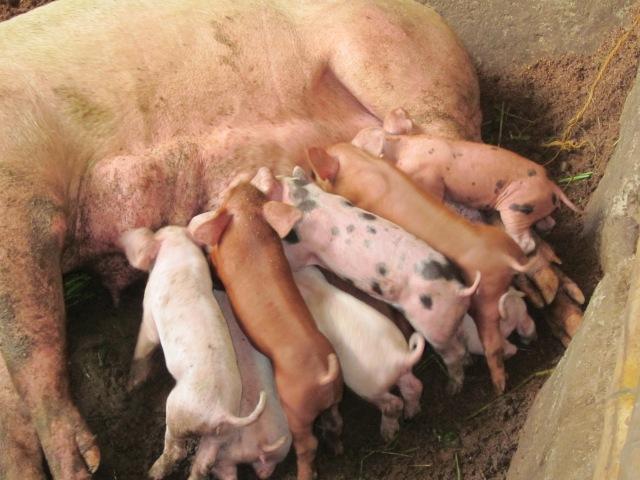 Piglets sukling on sow Palawan