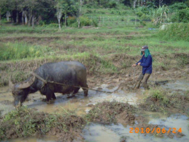 water buffalo ploughing rice field