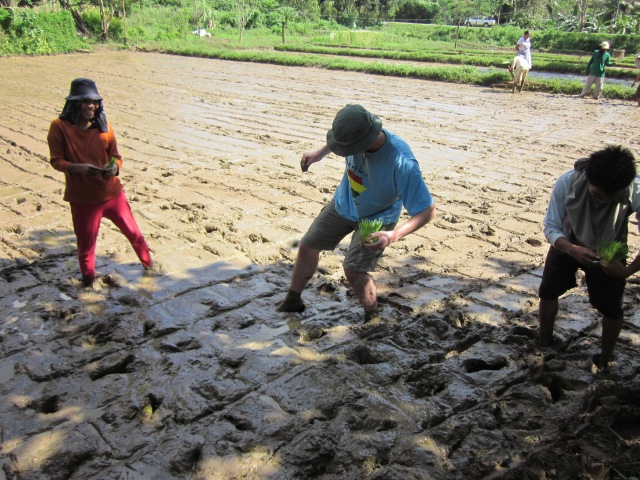 foreigner experiencing rice planting in Palawan