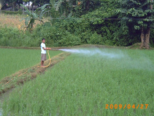 Spraying rice with folia fertilizer