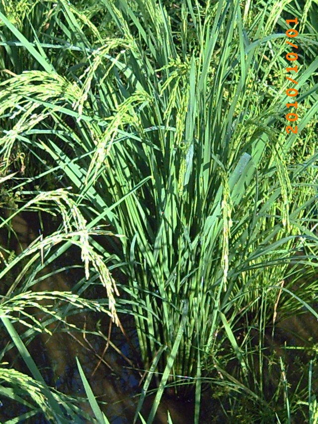Strong and heathy rice plant from SRI
